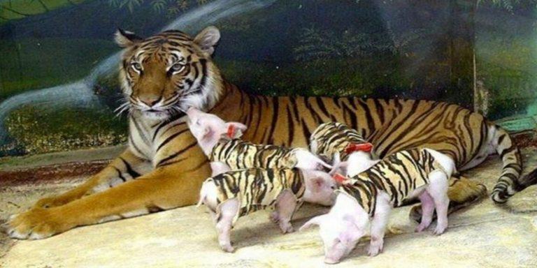 tigre adotta maialini