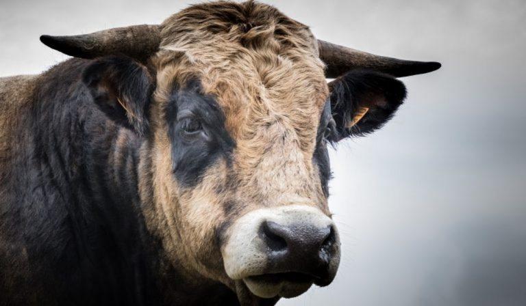 Allevatore incornato da toro