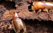 Bostrico insetto abeti rossi
