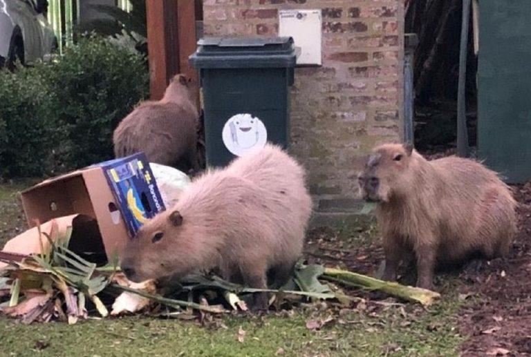 I capibara che bivaccano nell'immondizia