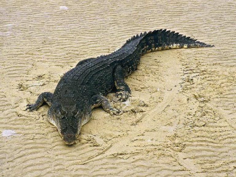 Un esemplare del temibile coccodrillo marino