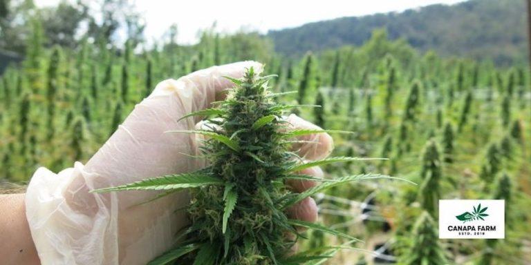 Marijuana-online
