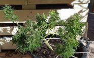 Il referendum sulla cannabis legale è a rischio