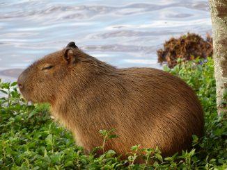 Capibara invadono Buenos Aires