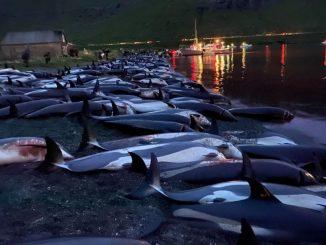 Delfini uccisi Faroe