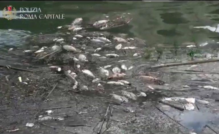 Moria di pesci nel Tevere a Roma