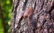 Nei pipistrelli del Laos virus simili al Covid: «Infettano gli umani». La scoperta dei ricercatori
