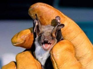 Il pipistrello può trasmettere il Nipah