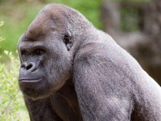Ozzie, il gorilla positivo monitorato particolarmente perché anziano