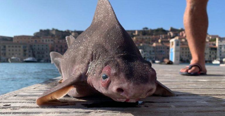 Pesce porco