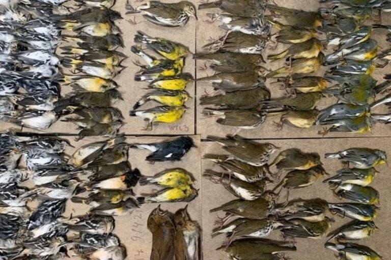 Alcuni degli uccelli morti a New York