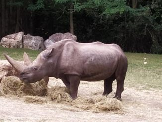 Morto rinoceronte nonno Toby