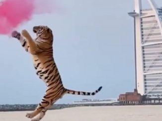 coppia sesso nascituro tigre