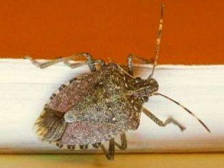 insetti invasori