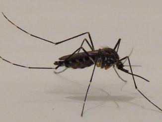 zanzara corena