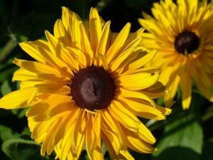 like the sun flowers 300x225