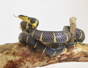 serpente 300x231
