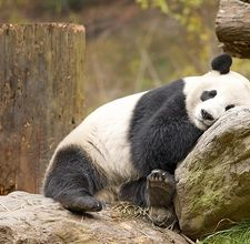 article page main ehow images a05 ip 45 ecosystem giant panda  800x800