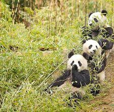 article page main ehow images a05 jm co panda s natural habitat  800x800