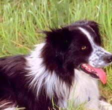 article page main ehow images a08 3v se care border collie dewclaws 800x800