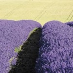article page main ehow images a02 0l ts use lavender treat headaches 800x800 150x150