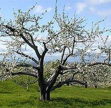 Come prendersi cura dei meli e dei peri appena piantati for Terreni piantati a meli