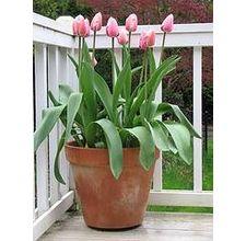 article page main ehow images a04 qs a0 plant tulips pot 800x800