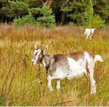 article page main ehow images a07 3m 2q pasteurize goat s milk home 800x800