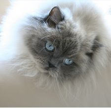article page main ehow images a04 7q 65 brush himalayan cat 800x800