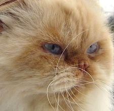 problemi di salute gatto persiano